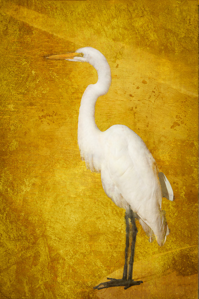 Left-facing-Golden-Egret-Portrait-on-Gold-colored-Texture