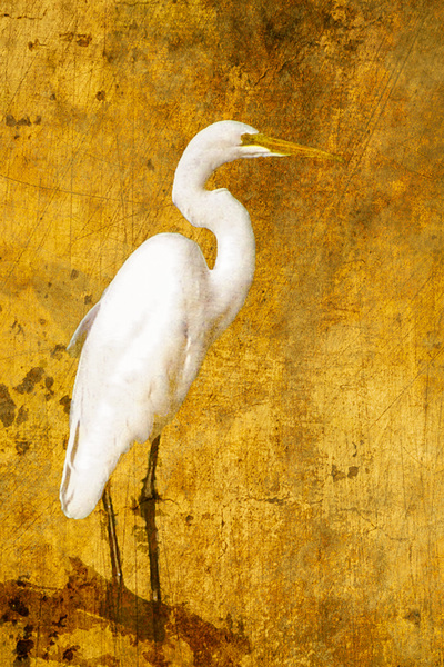 Great-Egret-Portrait-on-Golden-Color-Texture