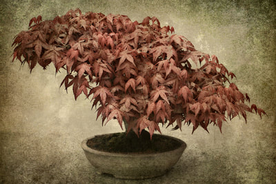 Textured-Photographic-Image-RedMaple-Bonsai